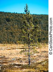 冷杉 樹, 單個的對象, bokeh, 背景