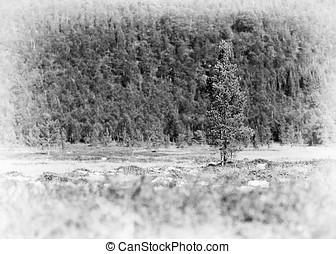 冷杉 樹, 單個的對象, vignette, 背景