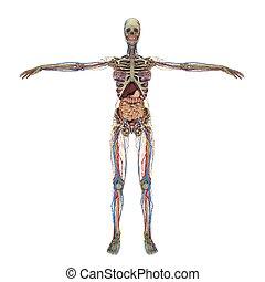准确, 女性, 解剖學