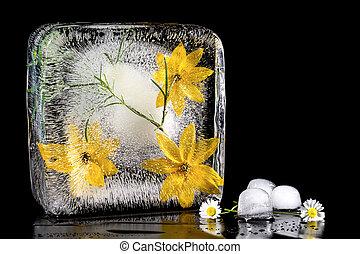 凍らせられた, 隔離しなさい, ice., 黄色の花, 黒い背景, 構成