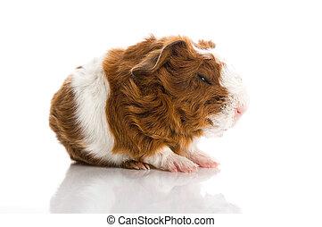 几尼, 白色, 被隔离, 豬
