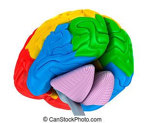 別, 医学, 隔離された, イラスト, 脳, 色, 白, 正確, 丸い突出部, 3d