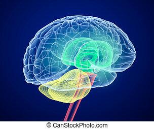 別, 脳, 丸い突出部, colors., ビュー。, x 線