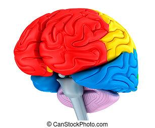別, 隔離された, 脳, 丸い突出部, white., colors.