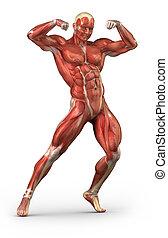 前である, システム, 筋肉, ポジション, ボディービルダー, 光景, 人