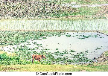 前景, 稻米, 风景, 母牛, 领域