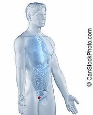前立腺, ポジション, 解剖学, 人, 隔離された, 横の視野