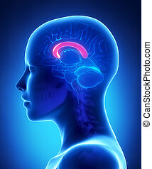 前部, コーパス, -, 女性, 脳, 解剖学, 横の視野