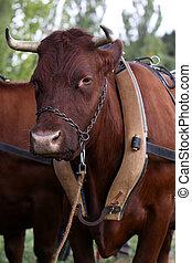 前部, ワゴン, 馬具, 牛