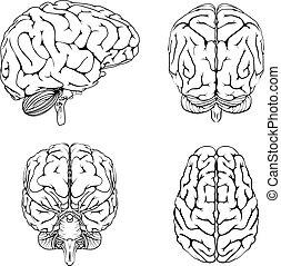 前部, 脳, 上, 背中, 側