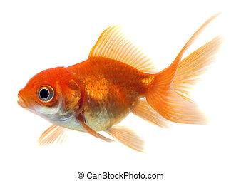 前面, 金魚, 白色 背景