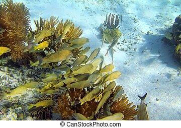 加勒比海, 礁石, 咕嚕聲 魚, 學校, mayan 里維埃拉
