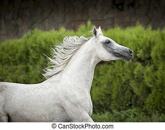 動き, アラビア人, 馬, 肖像画, 白