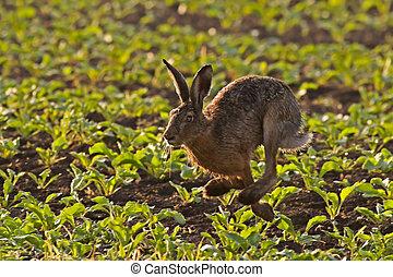動くこと, ノウサギ