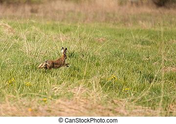 動くこと, ノウサギ, 恐れている, 牧草地, 横切って