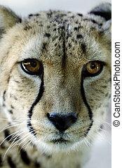 動物, 野生生物, -, チーター