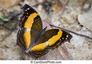 動物, sabina, イメージ, vasuki, 蝶, バックグラウンド。, 自然, doherty), 昆虫, (lurcher.