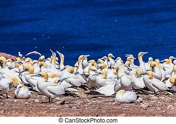 北方的塘鵝, 殖民地