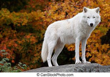 北極 オオカミ, カメラを見る, 上に, a, 秋日