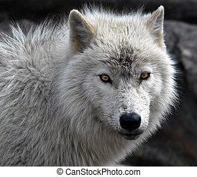 北極 オオカミ