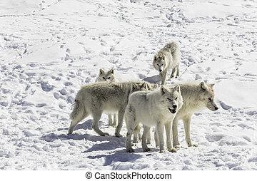 北極 オオカミ, パック