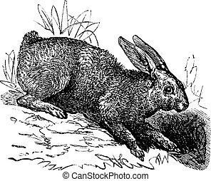 北, ノウサギ, (lepus, americanus), ∥あるいは∥, snowshoe の ノウサギ, 型, 彫版