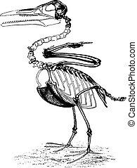 北, 型, 期間, 勝利者, cretaceous, アメリカ, 歯である, ichthyornis, 鳥, engraving.