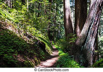 区域, 森林, francisco, イチイモドキ, ハイキング小道, sempervirens), 湾, 公園, 州, カリフォルニア, (sequoia, butano, san