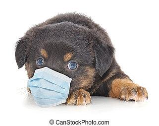 医学, mask., 犬, 顔, 身に着けていること