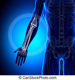 半徑, /, 尺骨, -, 解剖學, 骨頭