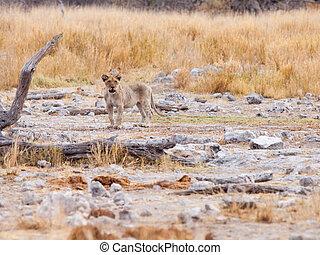 単独で, 若い, ライオン幼獣, 中に, ∥, 野生, 自然, 生息地, etosha の 国立公園, ナミビア, アフリカ