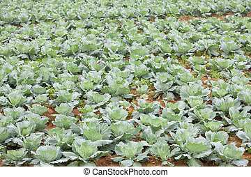 卷心菜, 農業