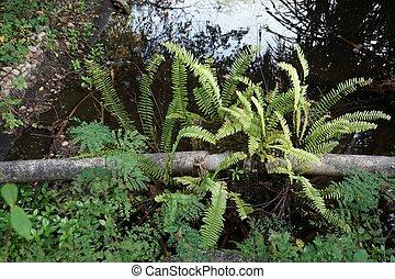 厥类植物, 长大, 在上, the, 水管