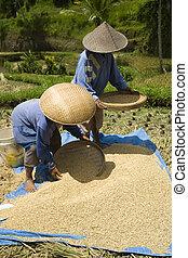 収穫する, 米