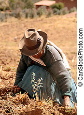 収穫, ペルー, ポテト