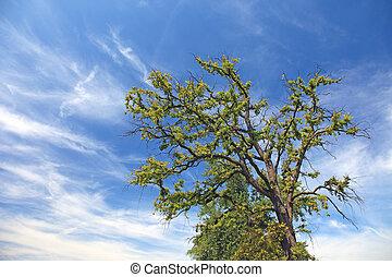古い, 孤独, 木, そして, 劇的な 空, ∥で∥, clouds.
