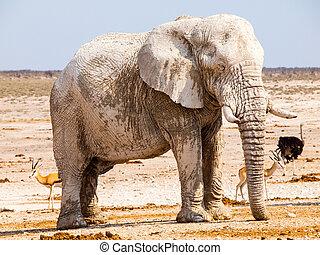 古い, 巨大, アフリカの象, 地位, 中に, 乾きなさい, 土地, の, etosha の 国立公園, ナミビア, アフリカ
