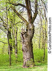 古い, 春, オーク・ツリー, 緑の森林, 大きい