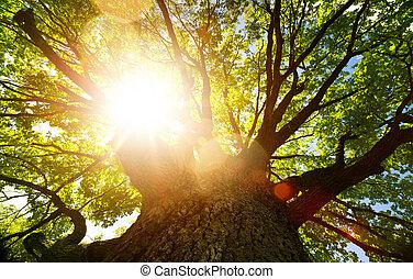 古い, 自然, 春, オーク・ツリー, に対して, 日光, 大きい, background;