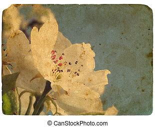 古い, postcard., 咲く, アップル, 花, 木。