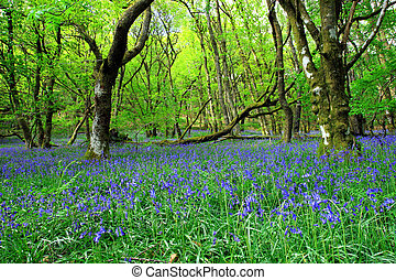 古老, 森林, bluebell