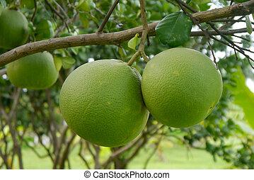 名前, pomelo, 木。, thailand., taptim, シャム