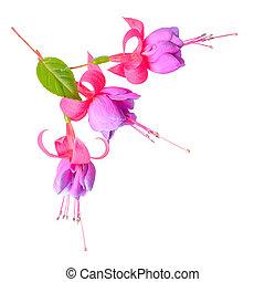 向かいなさい, フクシア, 花, ある, 隔離された, 白, 背景, `tennes