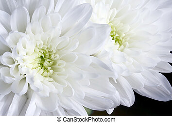 向上, 菊花, 黑色, 關閉, 白色, 花