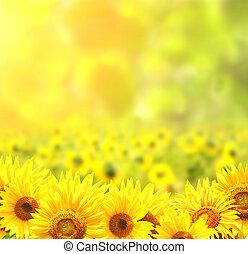 向日葵, 上, 被模糊不清, 陽光普照, 背景