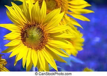 向日葵, 圖像, -, 領域, 農業, 股票
