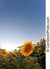 向日葵, 在, 春天, field., 垂直, 射擊
