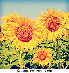 向日葵, 針對, the, 藍色的天空