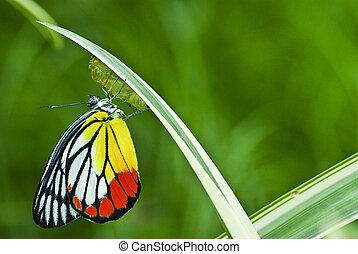 君主 蝶, トウワタ, マニア, 赤ん坊, 生まれる, 中に, ∥, nature.