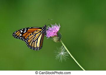 君主, danaus, 蝶, plexippus